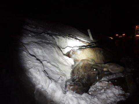 Denne elgen måtte bøte med livet etter et brutalt møte med en bobil tidligere i vinter. Føreren varslet viltnemda! (arkivfoto:Roy Myrland