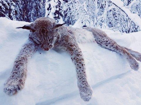 Slutten: Denne ruggen på 22 kilo måtte til slutt gje tapt for jaktlaget i Sør-Aurdal. Kvotejakta i Oppland er no over.