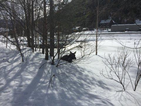 Elgkalven hadde lagt seg ned i vegkanten tirsdag. Onsdag ble den funnet død.
