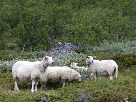 Mye sopp fører til økt radioaktivitet i sauekjøttet. Målinger av besetninger i Valdres pågår nå.