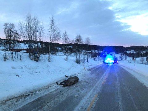 Påkjørt: Denne elgkua ble påkjørt på riksveg 51 i Øystre Slidre den 12. februar i år. Men det i tiden før det smeller oftest. Foto:Privat