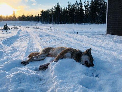 ILLUSTRASJONSFOTO: Ulven som har trafikkert i den sørlige delen av Valdres den siste tiden er nå skutt.