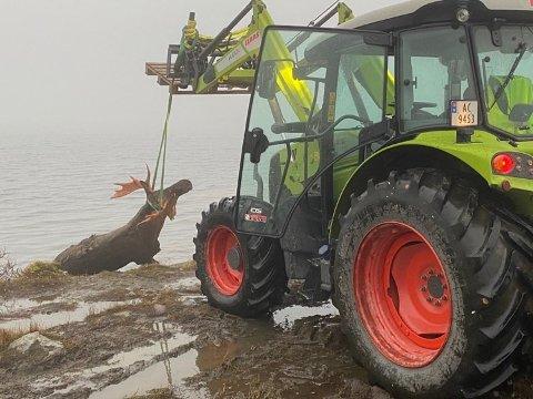 TRAKTOR-LØSNING: Da forsøket på å hente opp elgen med båt ikke fungerte, måtte man ty til traktor.