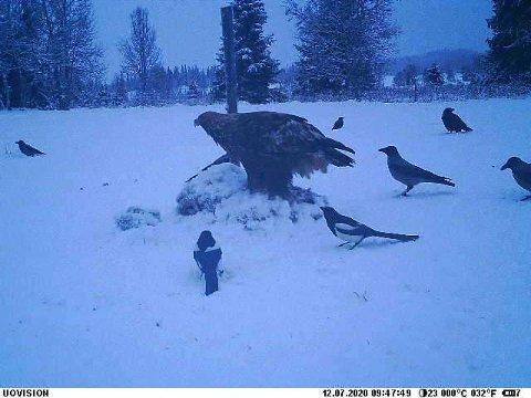 7. DESEMBER: Ørnen på besøk på reveåta.