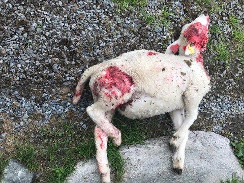 Måtte avlives: Lammet var så ille tilredt etter møtet med hunden, at det måtte avlives av beitelaget.