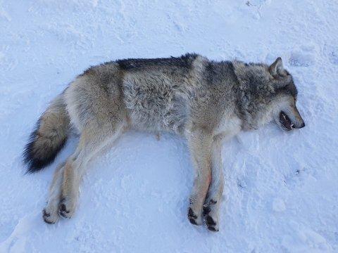 Senterungdommen vil fjerne all ulv i Norge.