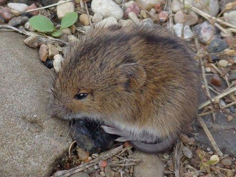 Lang hale og svart stripe over ryggen er kjennetegn for bjørkemusa.