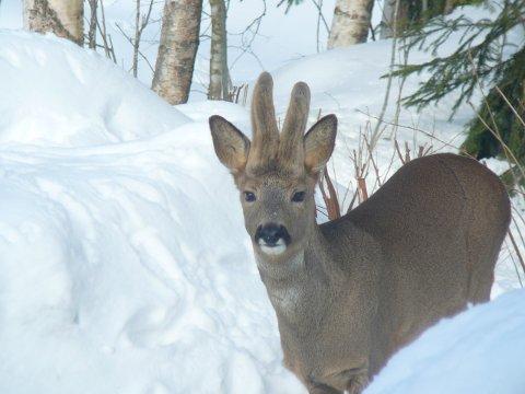 SLITER NÅ. Rådyrene sliter i den tunge snøen. I tillegg er det vanskelig å skaffe mat for dem nå. (Illustrasjonsfoto: Svein Bøeng).