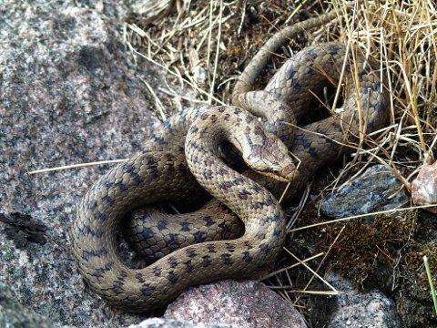 SJELDEN: Slettsnoken er på toppen av næringskjeden blant reptilene og spiser andre slanger, stålorm, firfirsler og mus.