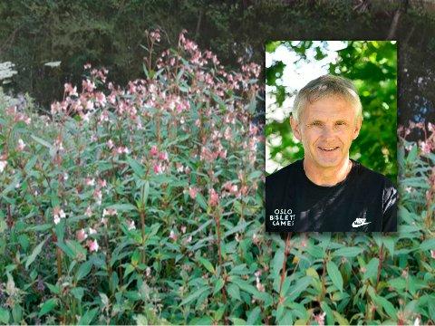 SKAL BEKJEMPES: Nittedal Elveforum og Keith Redford er i et treårig prosjekt med å fjerne fremmedartete planter fra elvebredden. Nå inviteres det til flere dugnader i juli og august for å bekjempe Kjempespringfrø fra Nitelvas bredder.