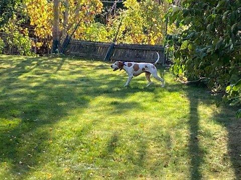 LØPER FRITT: Denne hunden ble i helgen observert løpende rundt i området Høgdaveien på Tumyrhaugen. I dag er en hund med tilsvarende beskrivelse observert i samme område.