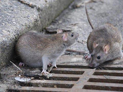 September og oktober er rottemåneder.