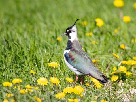 565 arter av artene på rødlista har kulturlandskapet som sitt hovedhabitat. Flere av dem er fugler, som åkerrikse, vipe, storspove, sanglerke, stær og gulspurv.