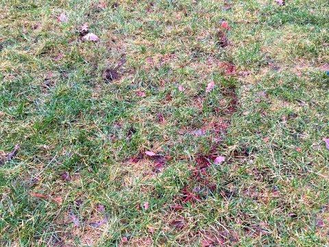 BLODSPOR: Spor etter tjuvjakt på Handeland, på bakken ovanfor barnehagen.