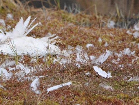 DØD: En svane som oppholdt seg i Botnertjern er død.
