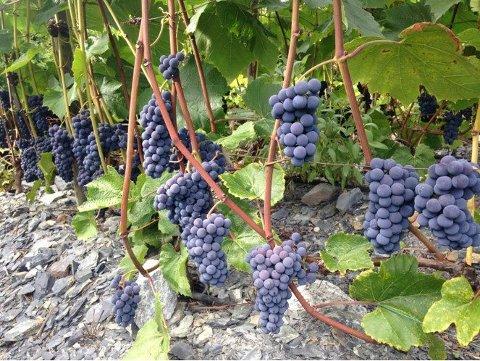 Bildet er av Hans-Chr. Holdts vinstokker i fjor, ekte Pinot Noir-druer. Foto: Privat