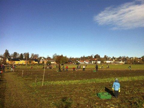 Potetopptak: I fjor møtte 170 frem for å være med på potetopptaket på Dysterjordet. Lørdag skal årets avling høstes. privat
