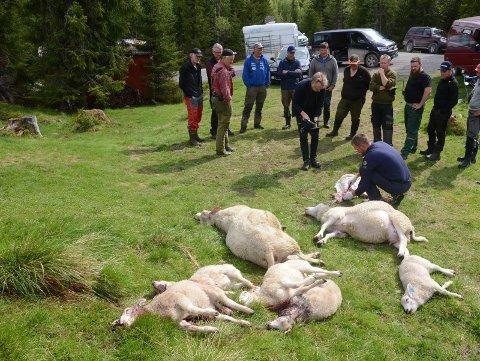 Sauedrap:: En del av jegerne som lette etter både sau og ulv  i området Hadeland/Hurdal.                                                                                                                       Foto: Bjørn Bjørkli/Hadeland