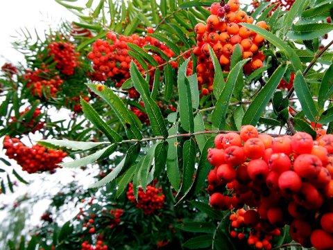 Rogna skal ikke bære tungt to ganger i løpet av et år, sier noen. Andre lover mye snø når det er mye rognebær. Men kanskje var det forrige vinters minimale snømengde som nå får rogna til å bære store bærklaser?