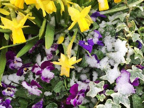 Har du plantet blomter ute, kan nok noen av dem henge litt med huet etter kalde netter denne helgen.