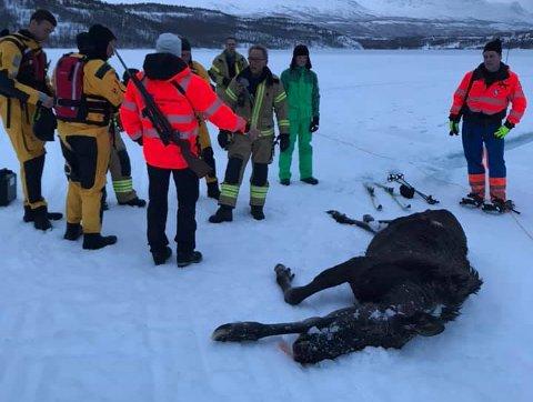 AVMAGRET: Elgkuen som gikk gjennom isen på Nervannet var avmagret og hadde flere byller på kroppen. Den druknet før de rakk å berge den.