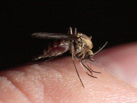 MYGG-MYTER: Myggen vet ikke om du har søtt blod. Men skiller du ut mye melkesyre, kan du være ekstra mygg-utsatt.