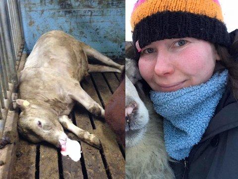 MÅ AVLIVE: Stine Jelti driver gård i Tana. Her har hun over 100 storfe, men hver år må rundt to kyr bøte med livet etter å ha fått i seg søppel som folk kaster fra seg langs veien.