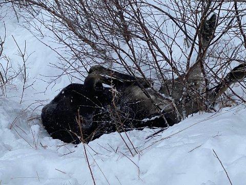 KUNNE IKKE BERGES: Slik lå elgen da Hallgeir Pedersen kom den til unnsetning. Det var tydelig at den hadde brukt alle sine krefter for å komme seg løs og livet sto ikke til å redde.