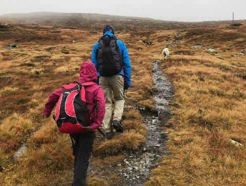 VISTE VEI: Sauen «Shauna» viste vei for familien oppover fjellet.