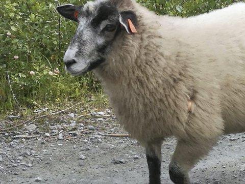 Lam med sluk: Dette lammet går rundt med en skjesluk i ulla (rød ring). Fotografen tror noen har prøvd å fange lammet med fiskeredskap. Eien vil ikke spekulere rundt det. Foto: Privat