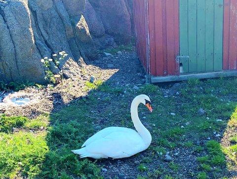 UTSATT: Denne svanen kan risikere å miste ungene sine hvis ikke folk og hunder holder seg unna.