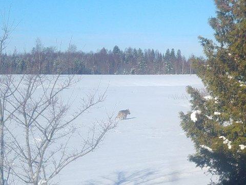 Ulven var bare rundt 20 meter fra huset til Vidar og Turid Frankrig. De syns opplevelsen med å se en ulv var stor.