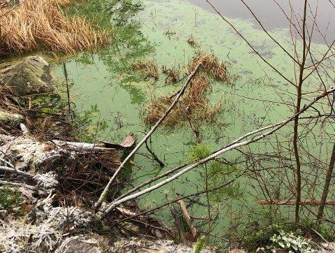 Et slikt grønt teppe på vannet er ikke vanlig å se i desember. Men det skjer.