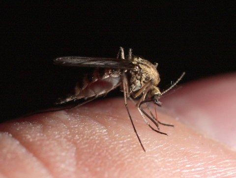 Myggen, sommerens svøpe. Foto: Frode Johansen, Ringerikes Blad