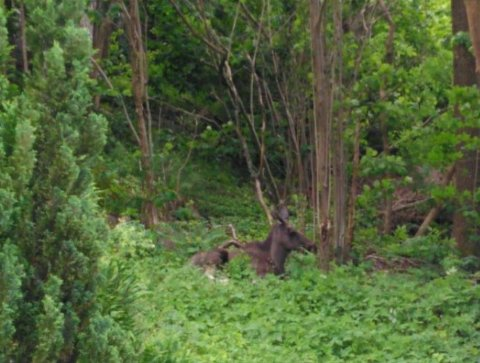 En observant Gressvik-beboer fotograferte elgen tirsdag formiddag.