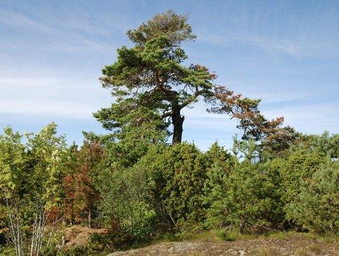 MÅ VURDERES: I følge avdelingsleder for Park og friområder i Larvik kommune, Guro Hessner, må det gjøres en avveining mellom risiko og bevaring før et tre kan felles.