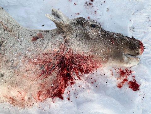 Reineier Tom Lifjell er glad en skigårer i fjellområdene nord for Rauvatnet, som hadde tilgang på rifle på hytta si, kunne hjelpe dem å avlive en rein som var stygt skadet etter jervebitt.