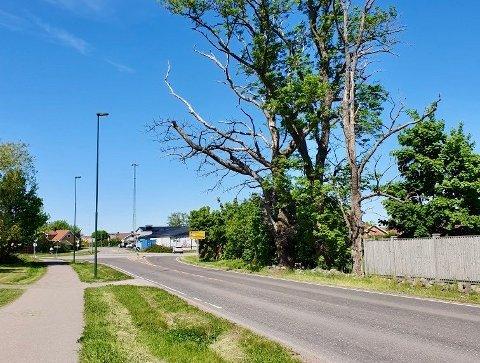 FARLIG TRE: Et stort tre henger over Ringshaugsveien på Gauterød. Jan Hassum frykter at det kan ha alvorlige konsekvenser for folk på veien.