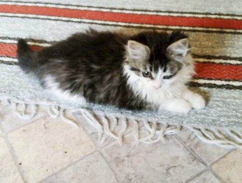 Mimosa: Katten fra Moskenes har en defekt på øyet og må operere for å ikke bli blind. Foto: Dyrebeskyttelsen