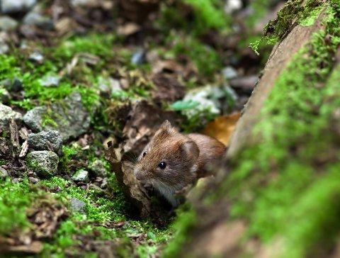 FARLIG: Det kan bli litt farligere å være mus igjen.