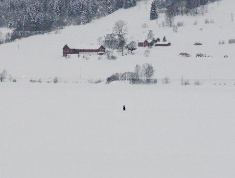 MIDTFJORDS: Elgen skal i dagevis har holdt til ute på den snødekte mjøsisen mellom Øyresvika på Vingnes og Dampsaga. Antakelig går den i land for å spise om kveldene.
