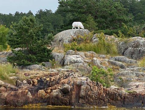 Beiter på fjell: Den nye sauen i innseilingen til Tvedestrand beiter på fjell. Men det har neppe noe å si for vekta.
