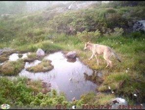 ULV: Dette er bilde av ulven som har ferdet mellom Flekkefjord og Sirdal.