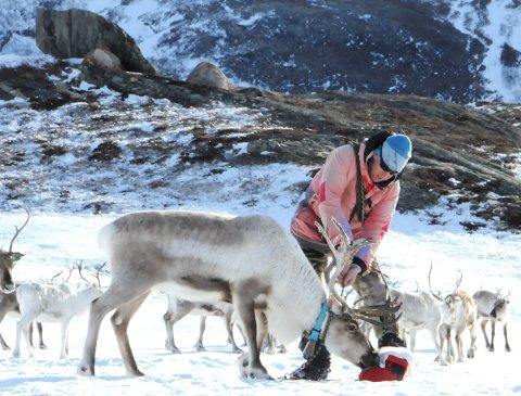 SNØFATTIG VINTER: Reinsgjeterne i Lom må gå til fots. Det er ikke framkommelig med snøscooter og ski i store deler av reinens beiteområder.