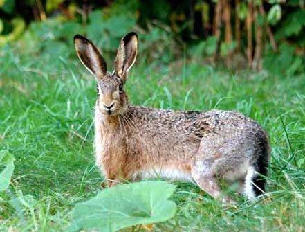 HAREPEST: Denne haren er frisk og fin, men den siste tiden har det blitt funnet flere døde harer i et hyttefelt i Aremark.