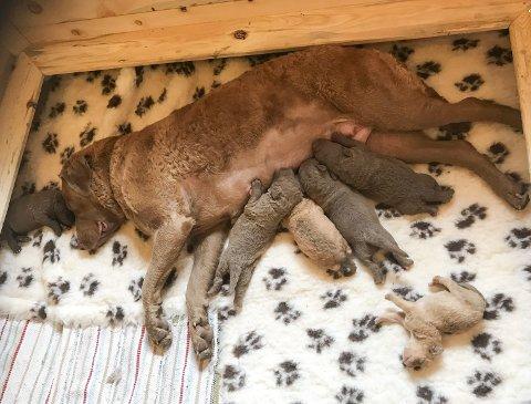 I kvalpekassen: Habibi med alle dei seks kvalpane i kvalpekassen. Her er dei 9–10 dagar gamle. Den minste var berre 225 g og den største 475 g ved fødsel.
