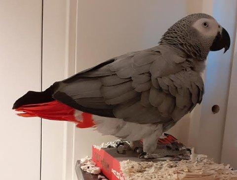 PAPEGØYE: Jaco er en sosial papegøyefugl på fem år.