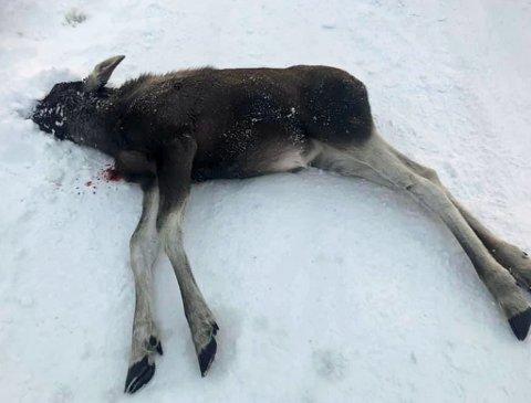 DØD: Elgen ble avlivet etter at den ble funnet kollapset på et gårdstun på Olsborg.