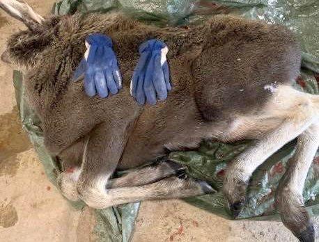 AVLIVET: Denne avmagrede elgkalven på bare 35 kilo ble avlivet i Indre Troms for to måneder siden.