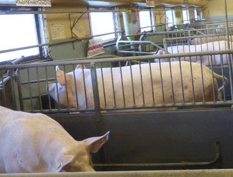 HAR DET BRA: Leder i Oppland bondelag Kristina Hegge kan ikke se at grisebønder i Oppland har dårlig dyrevelferd.